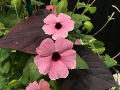 Black Eyed Susan Vine - Thunbergia Rose
